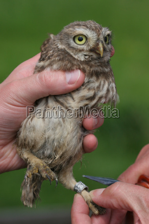 guides a young little owl