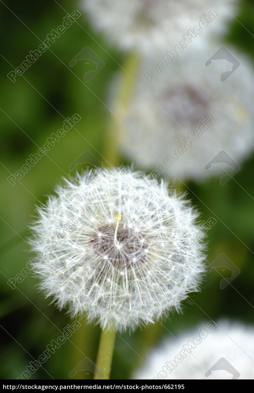 dandelion - 662195