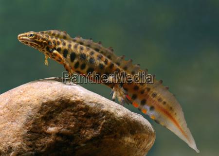 strip newt male