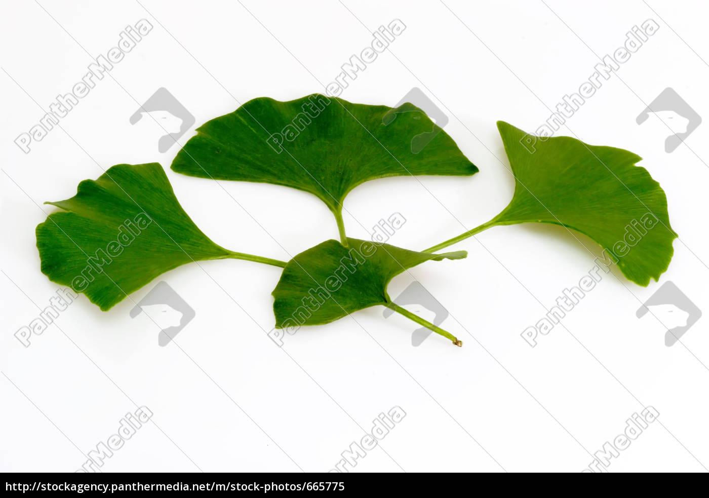 gingko, leaves - 665775
