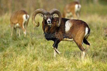 mouflon - 666003