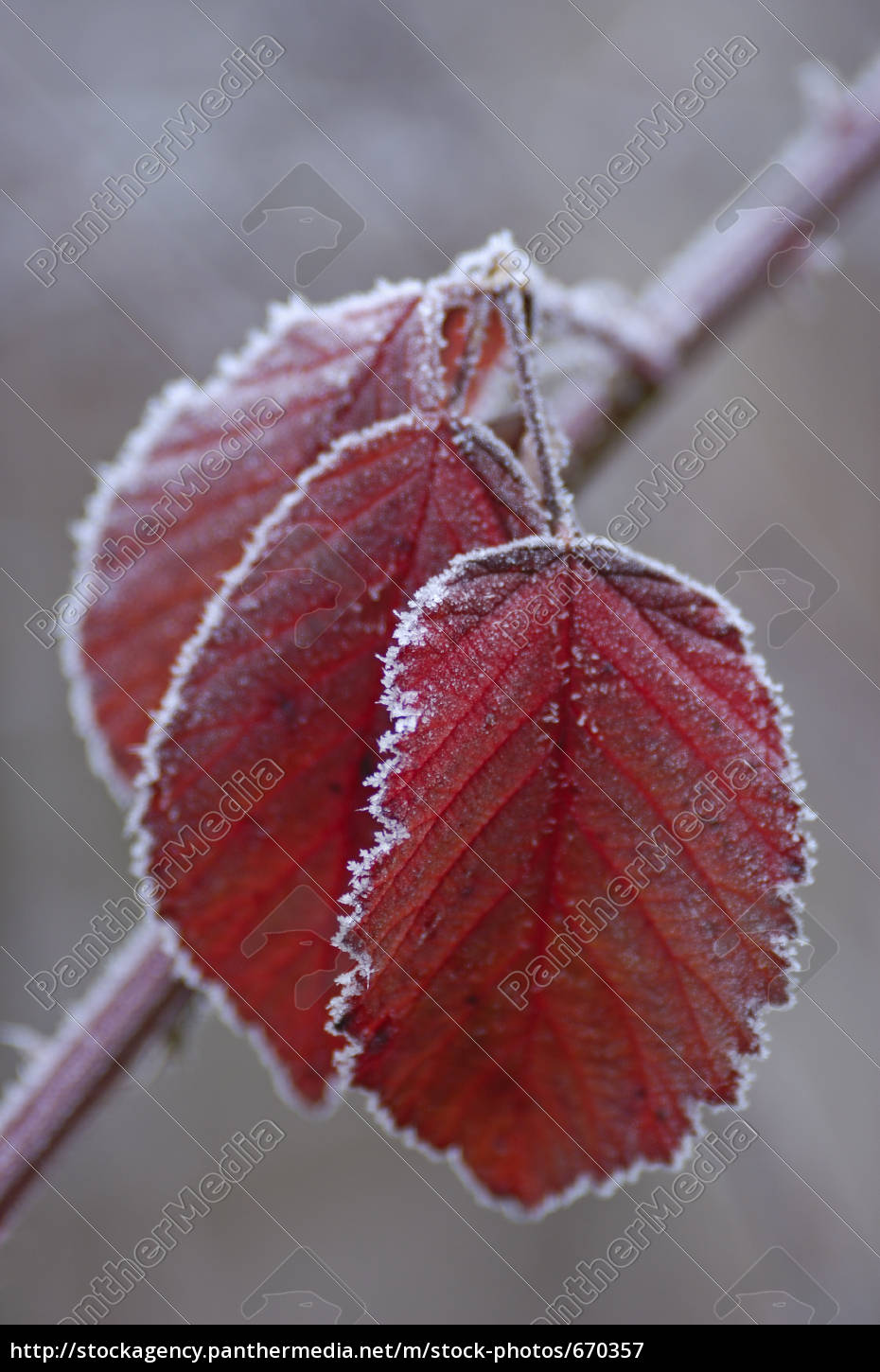 autumn, leaves, with, rime - 670357