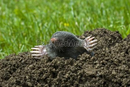 the, little, mole - 671709