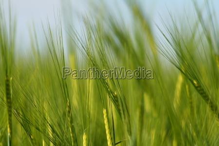 barley, in, the, light - 672939