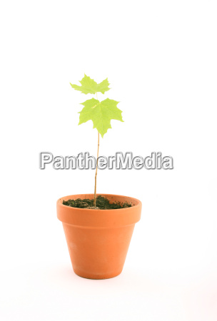 flower, head, with, maple, tree - 674007