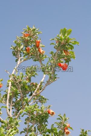 bluehener pomegranate tree