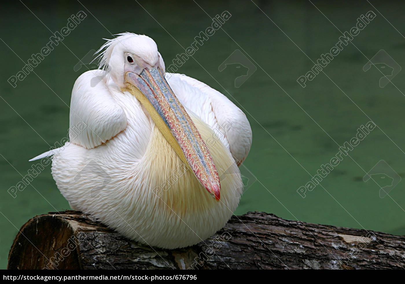 pelican - 676796