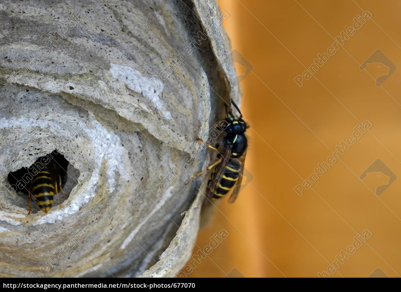 the, creation, of, a, wasps, nest - 677070