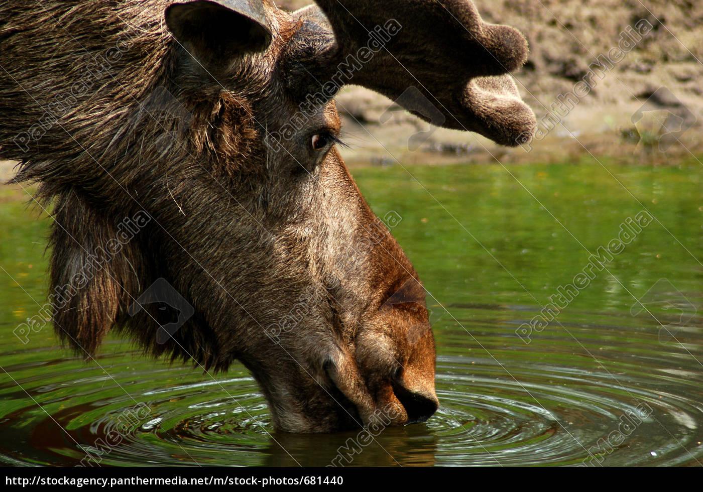 älg, -, moose - 681440