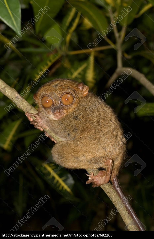 tarsier, on, bohol - 682200