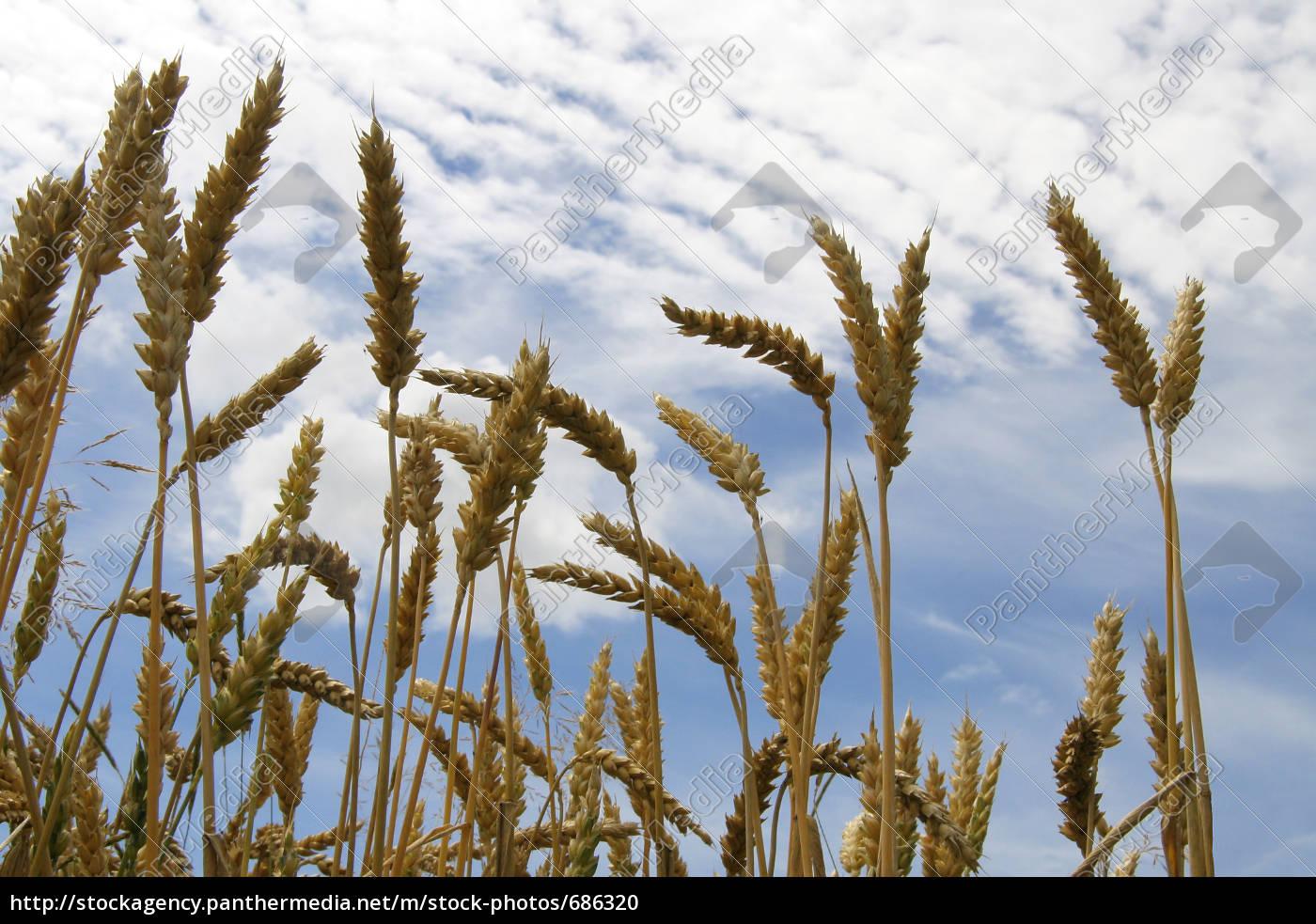 wheat, field - 686320