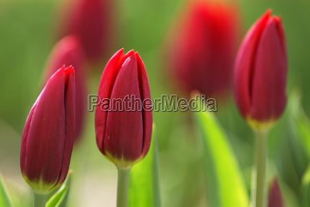 tulips - 687075