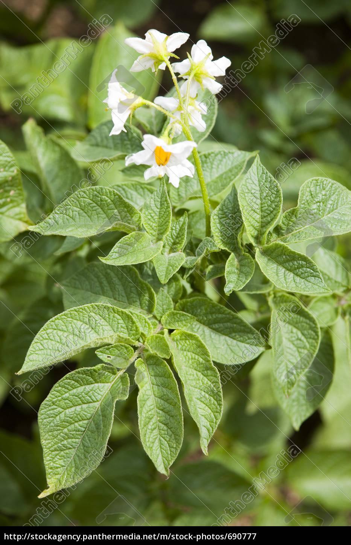 potato, blossom - 690777
