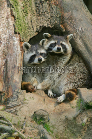 cohesion of raccoons