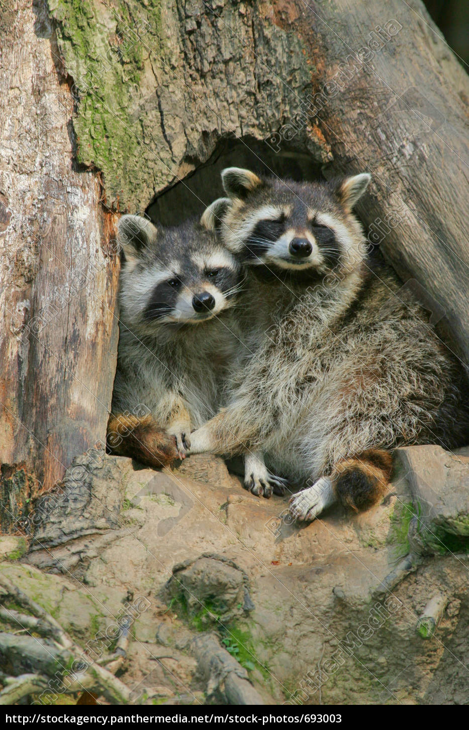 cohesion, of, raccoons - 693003