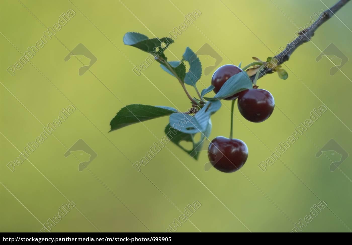 cherries, iii - 699905