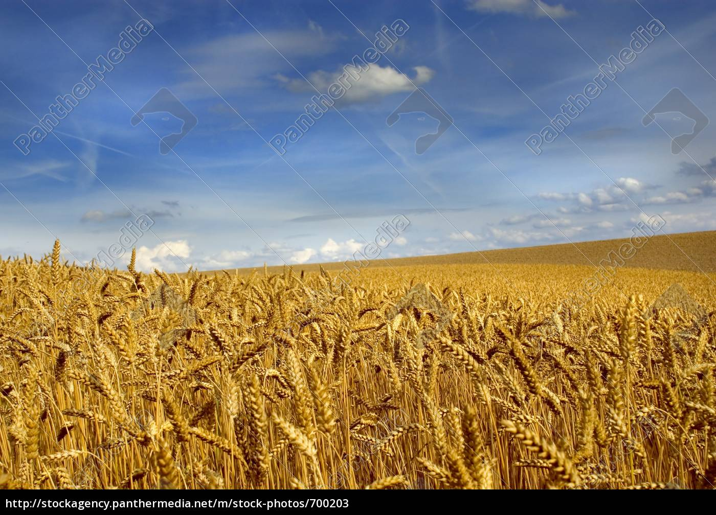 wheat, field - 700203
