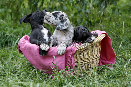 3, bulldog, puppies, in, basket - 703755