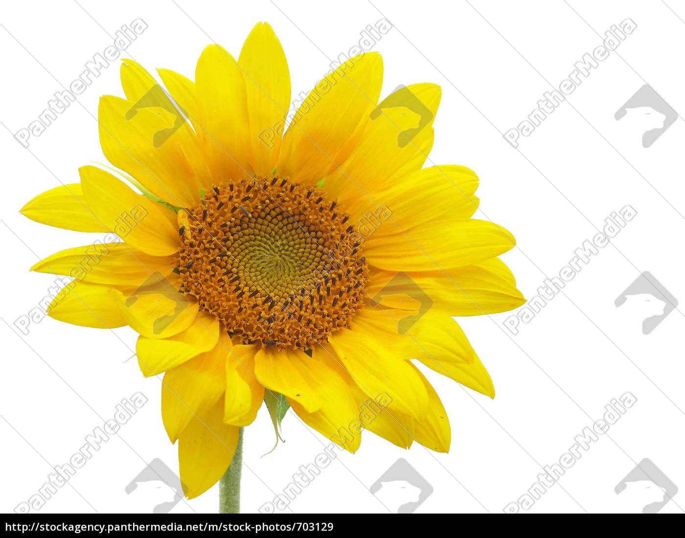 isolated, sunflower - 703129