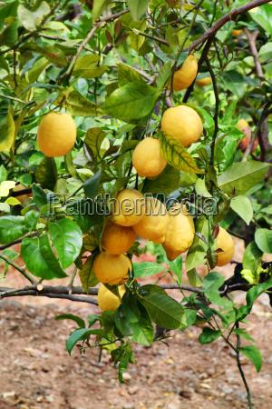lemon, tree - 703133