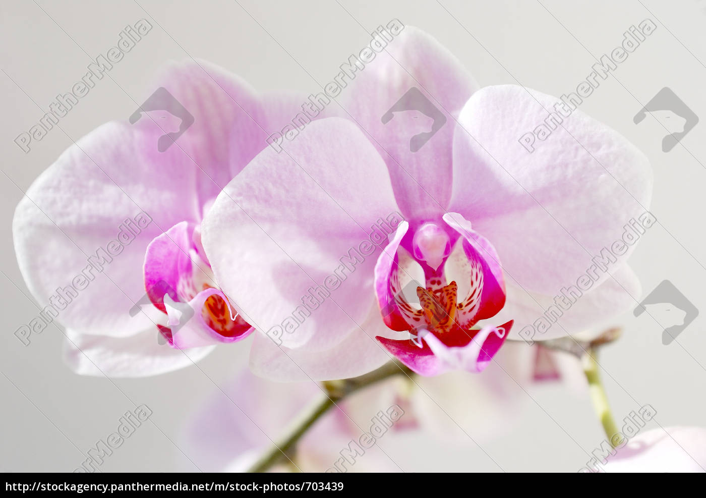 orchid - 703439