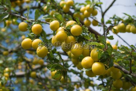 ripe, mirabelles, on, the, tree - 703079
