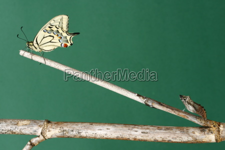 newly, hatched, swallowtail, j - 706603
