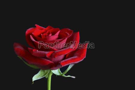 rosy 3