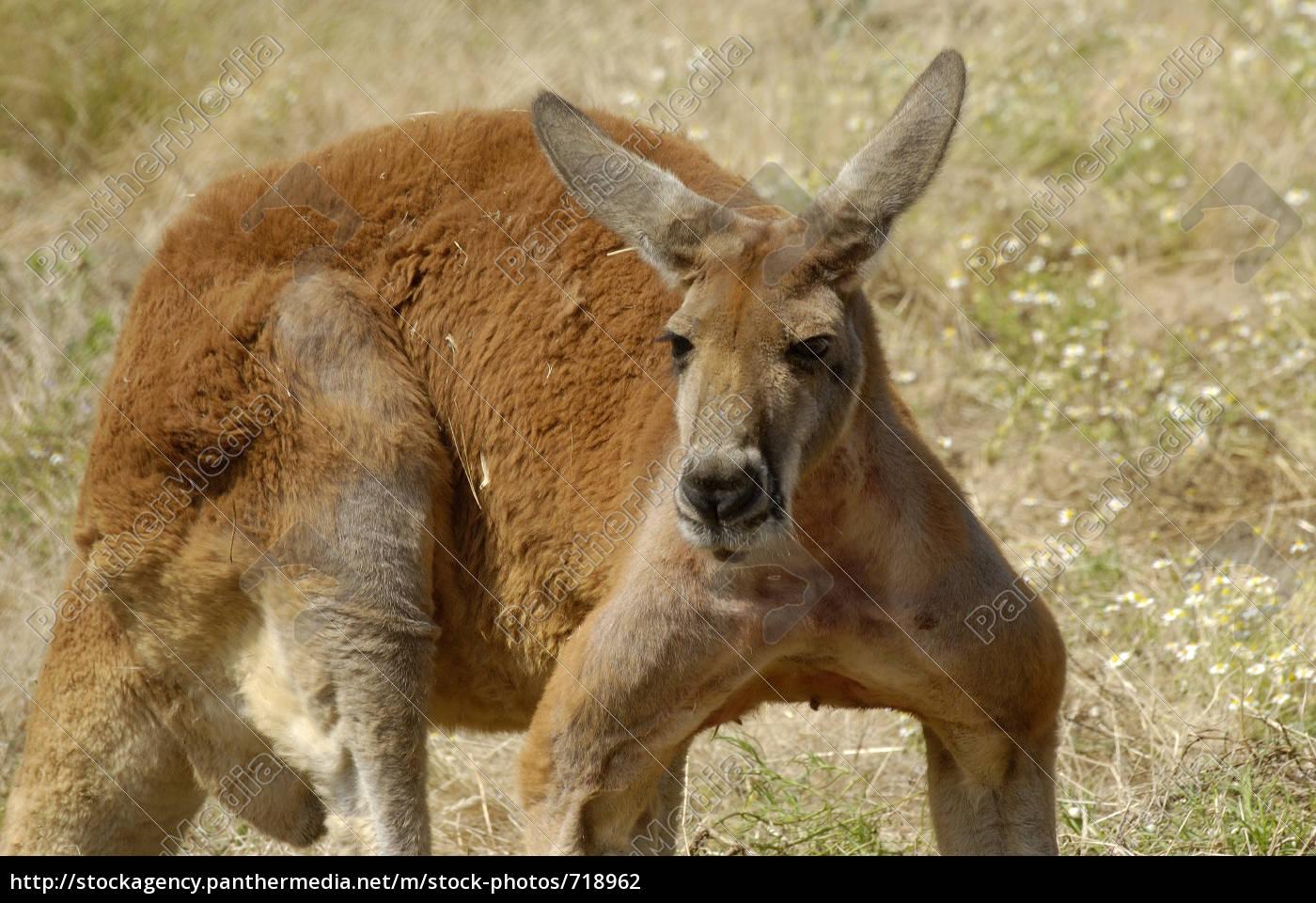 kangaroo - 718962