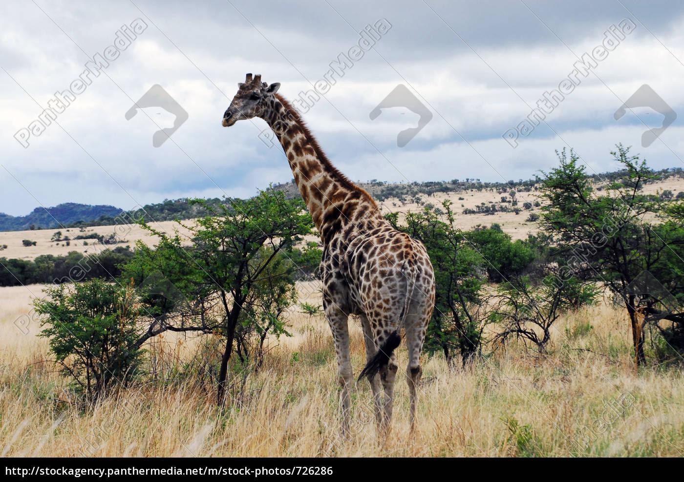 giraffe - 726286