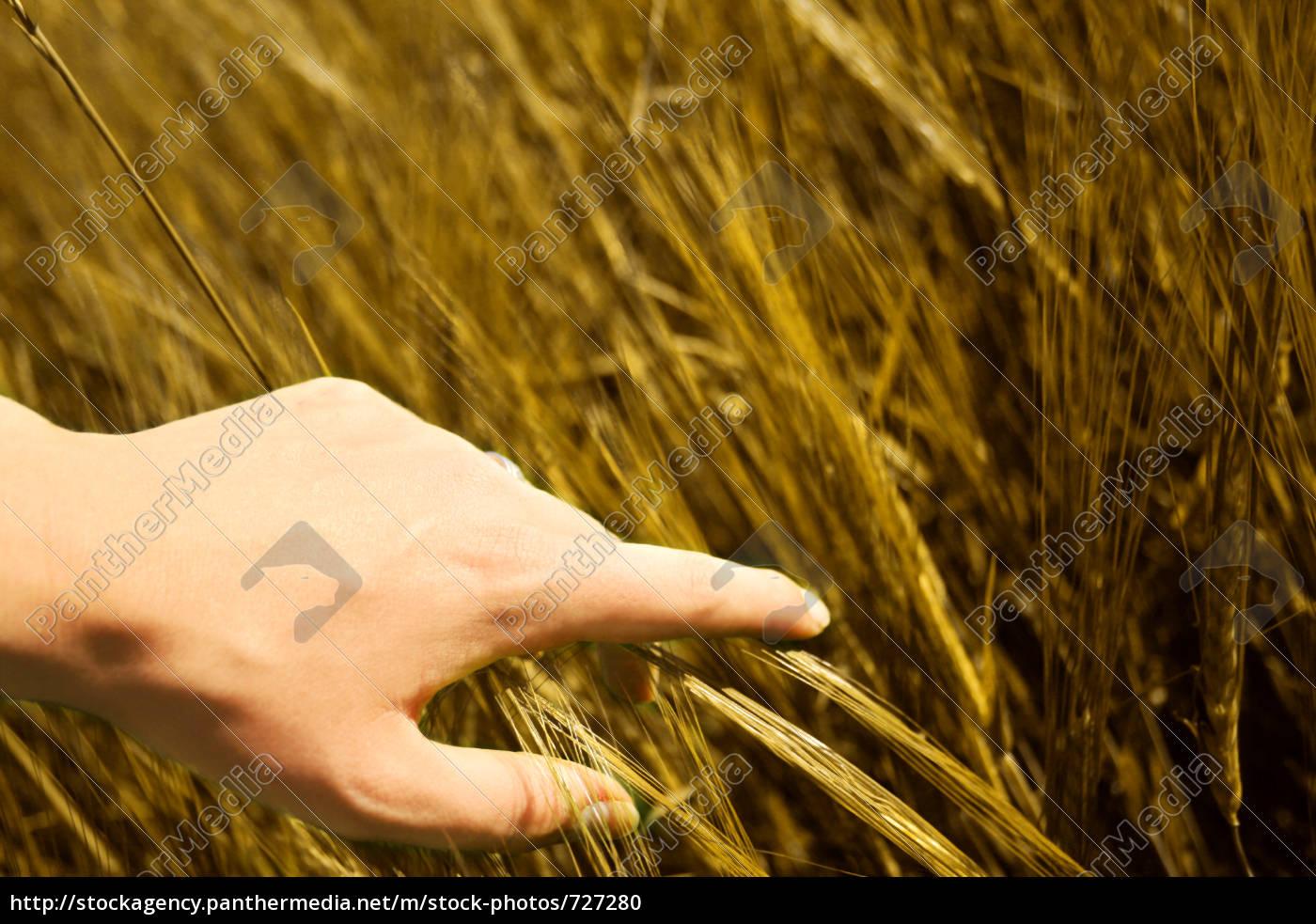 golden, grain - 727280