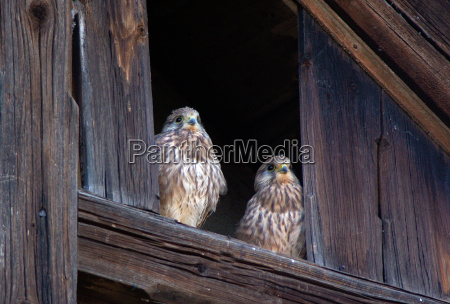 young hawks wait for parents