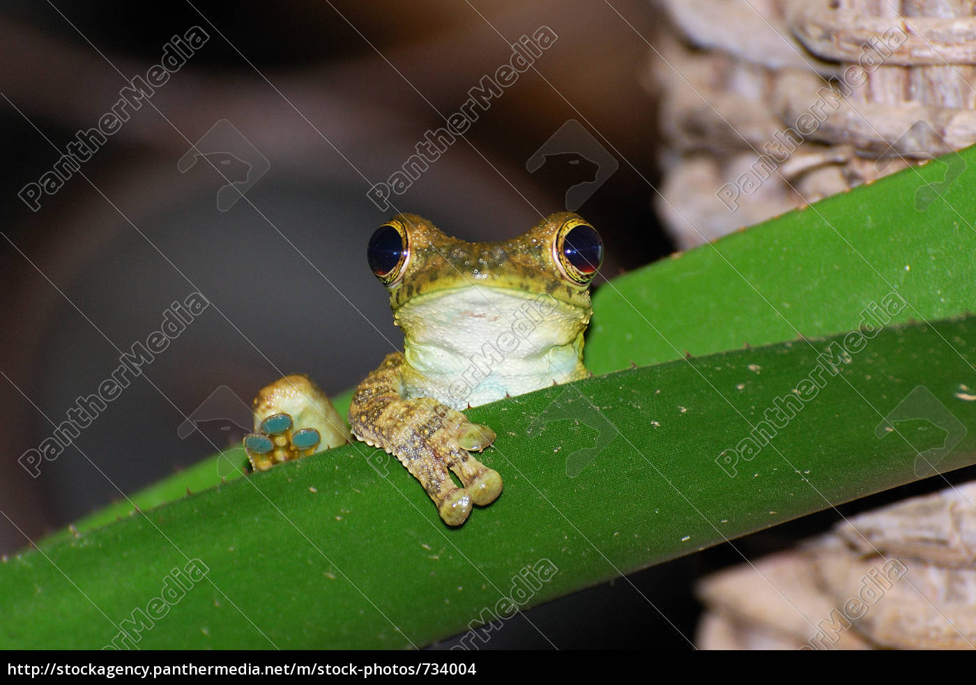 frog, 2 - 734004