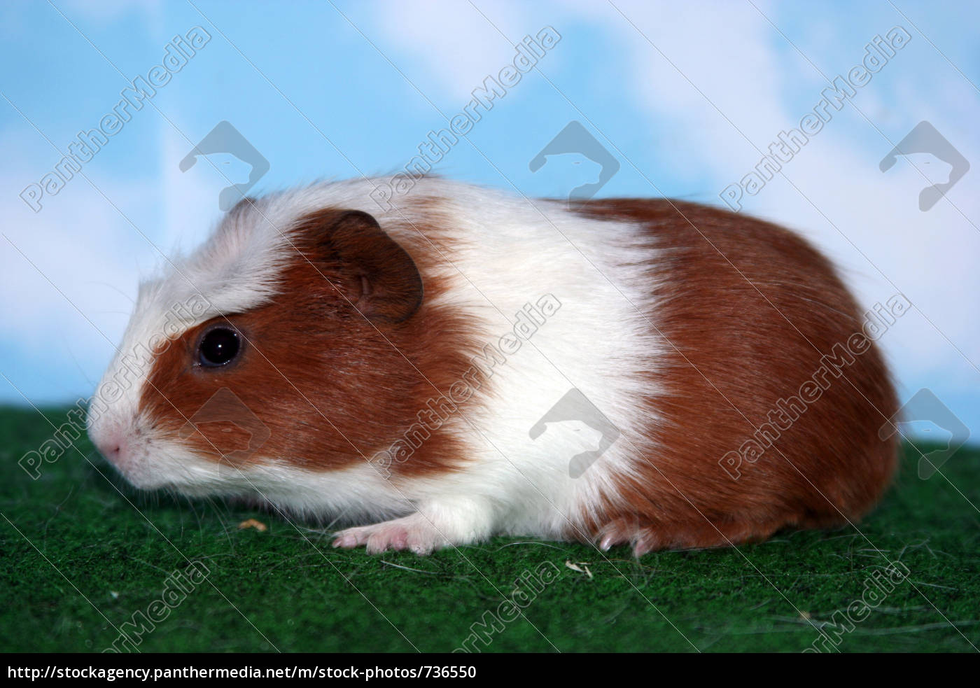 pucky, -, crested, guinea, pig - 736550