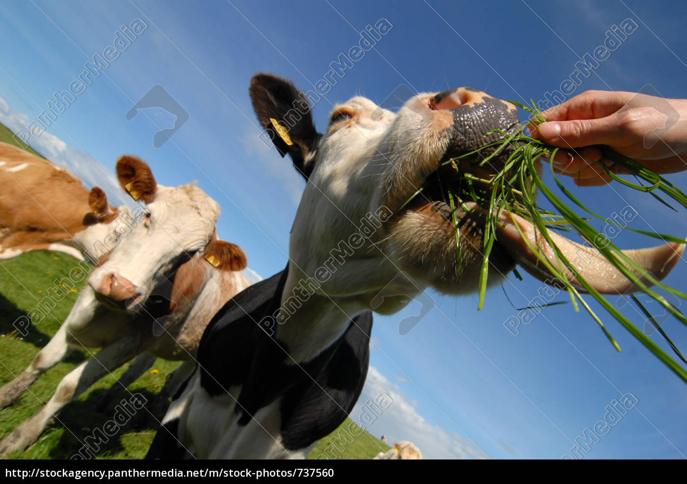 hungry, cows - 737560