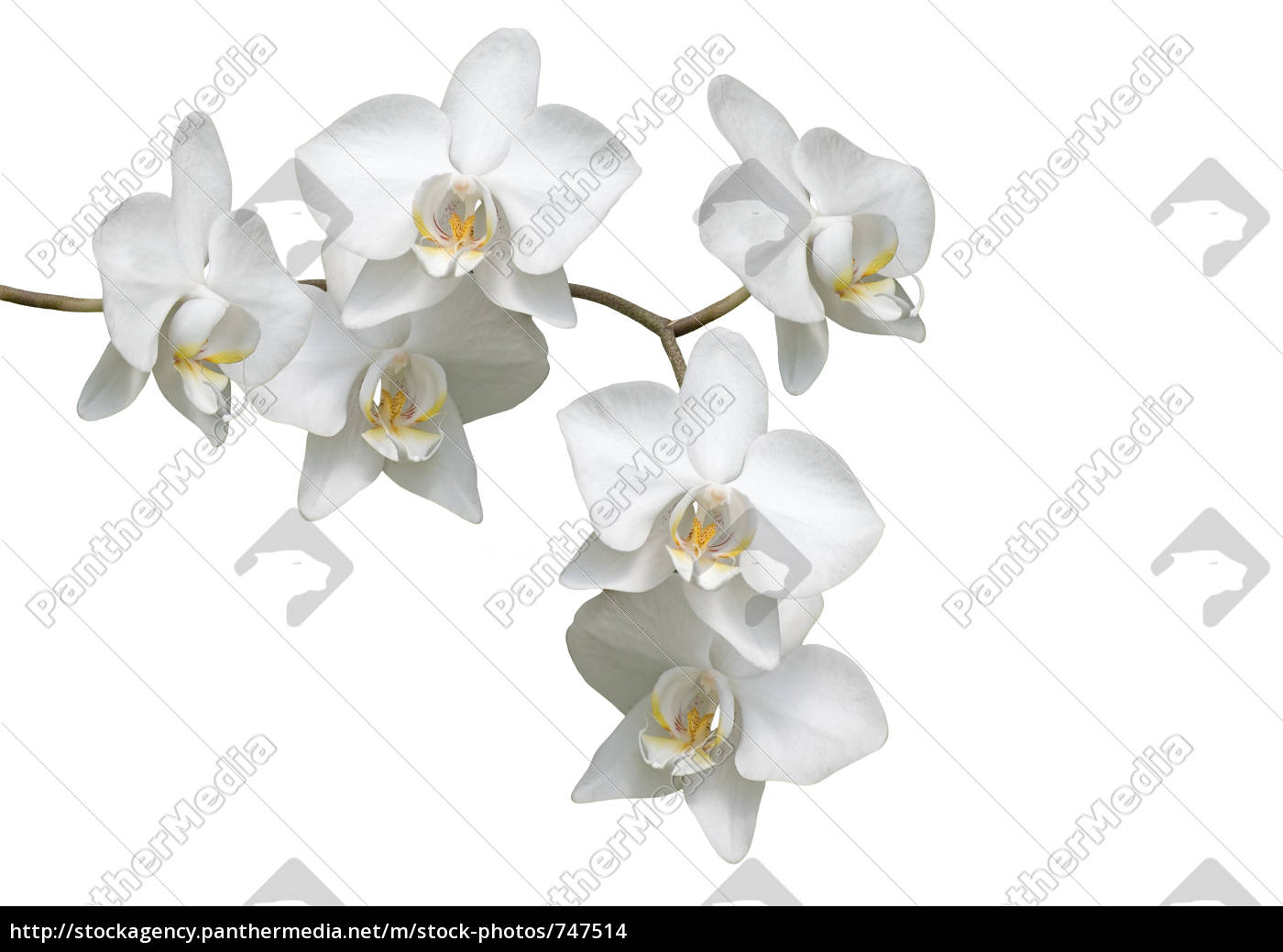 orchid - 747514