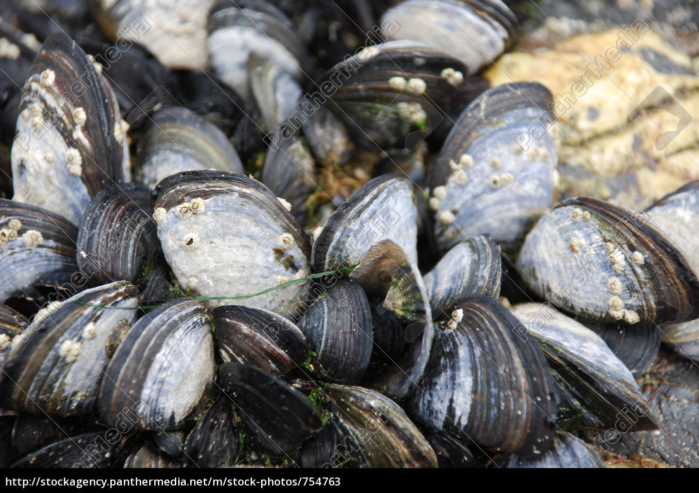 mussels, in, port, isaac - 754763