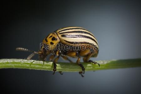 colorado, beetle - 755029