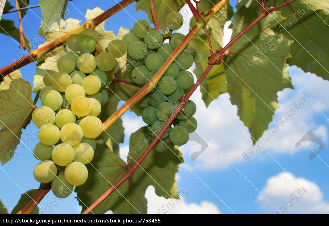 grapes - 758455