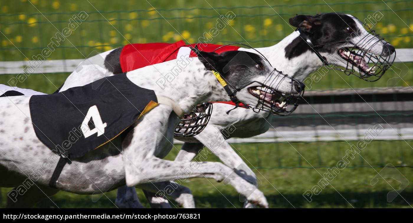 greyhound, racing - 763821