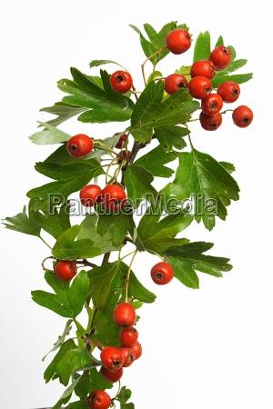 hawthorn, branch - 763257