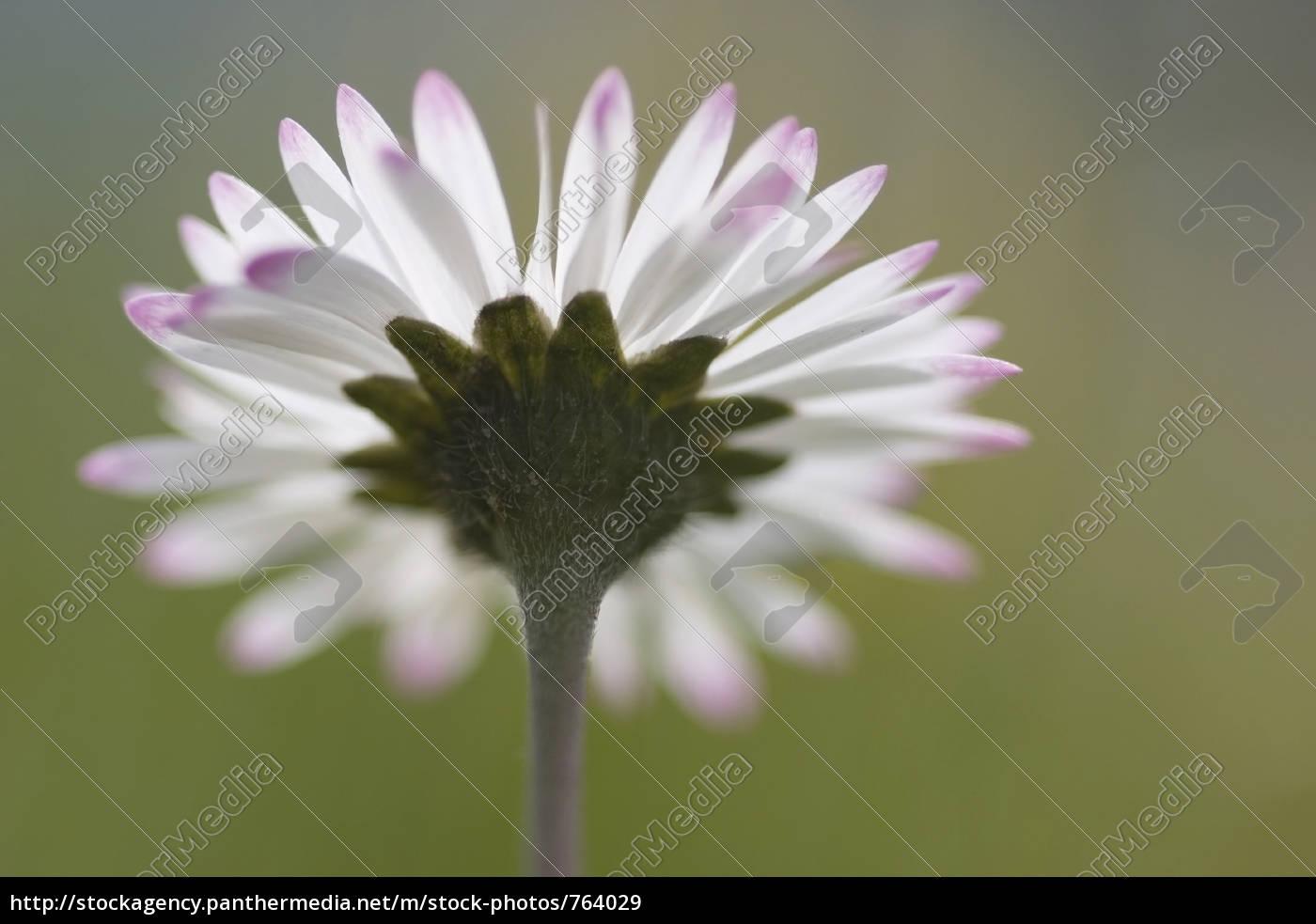 daisy - 764029
