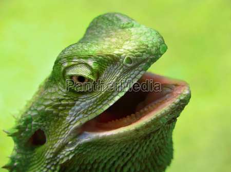 green, bearded, dragon, -, close - 764677