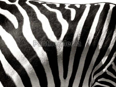 zebra, stripes - 764267