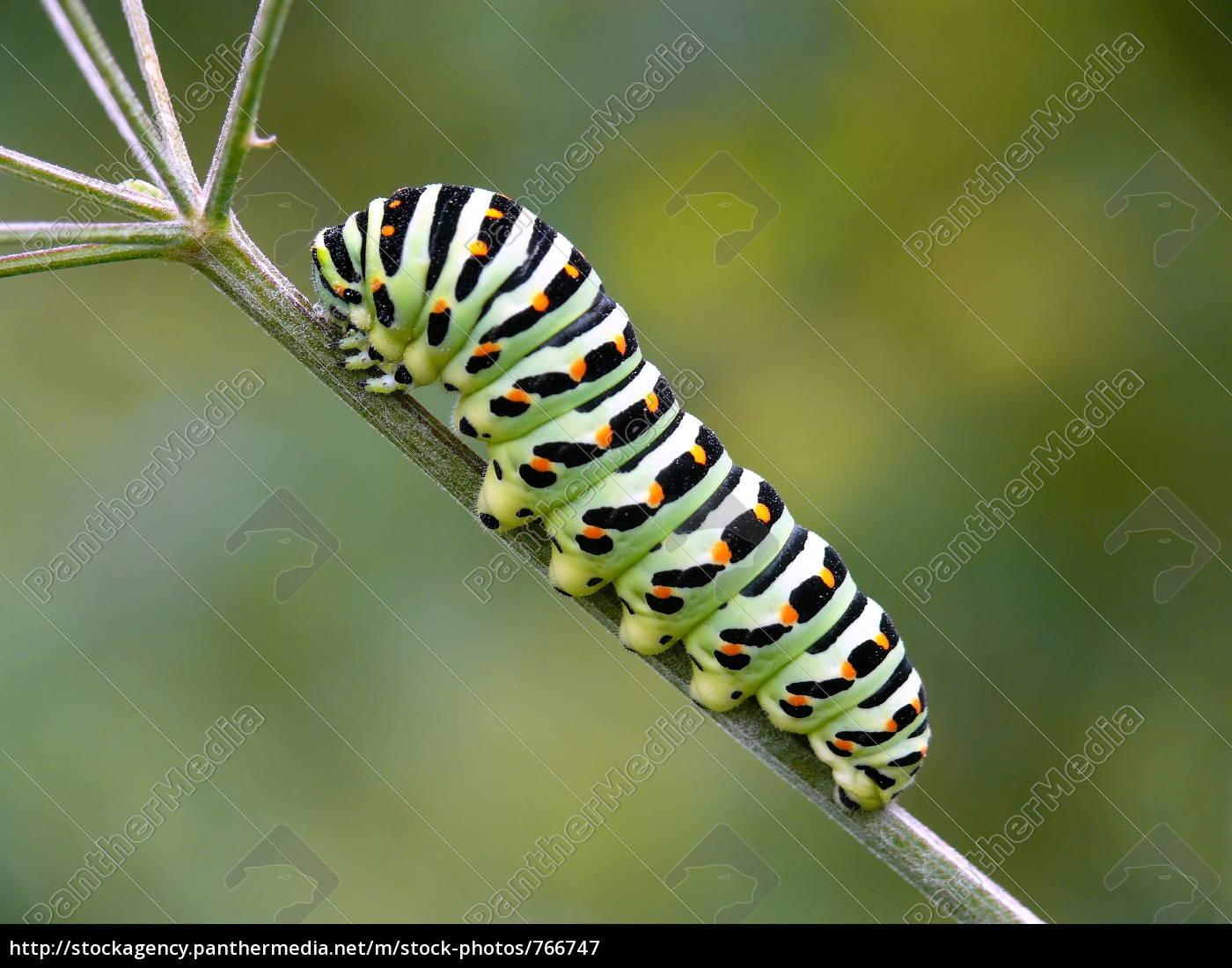 caterpillar, of, the, swallowtail - 766747