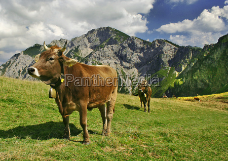 cows in allgaeu