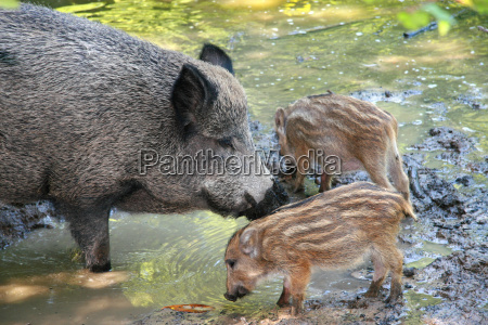 wild, boar, with, piglets - 780901