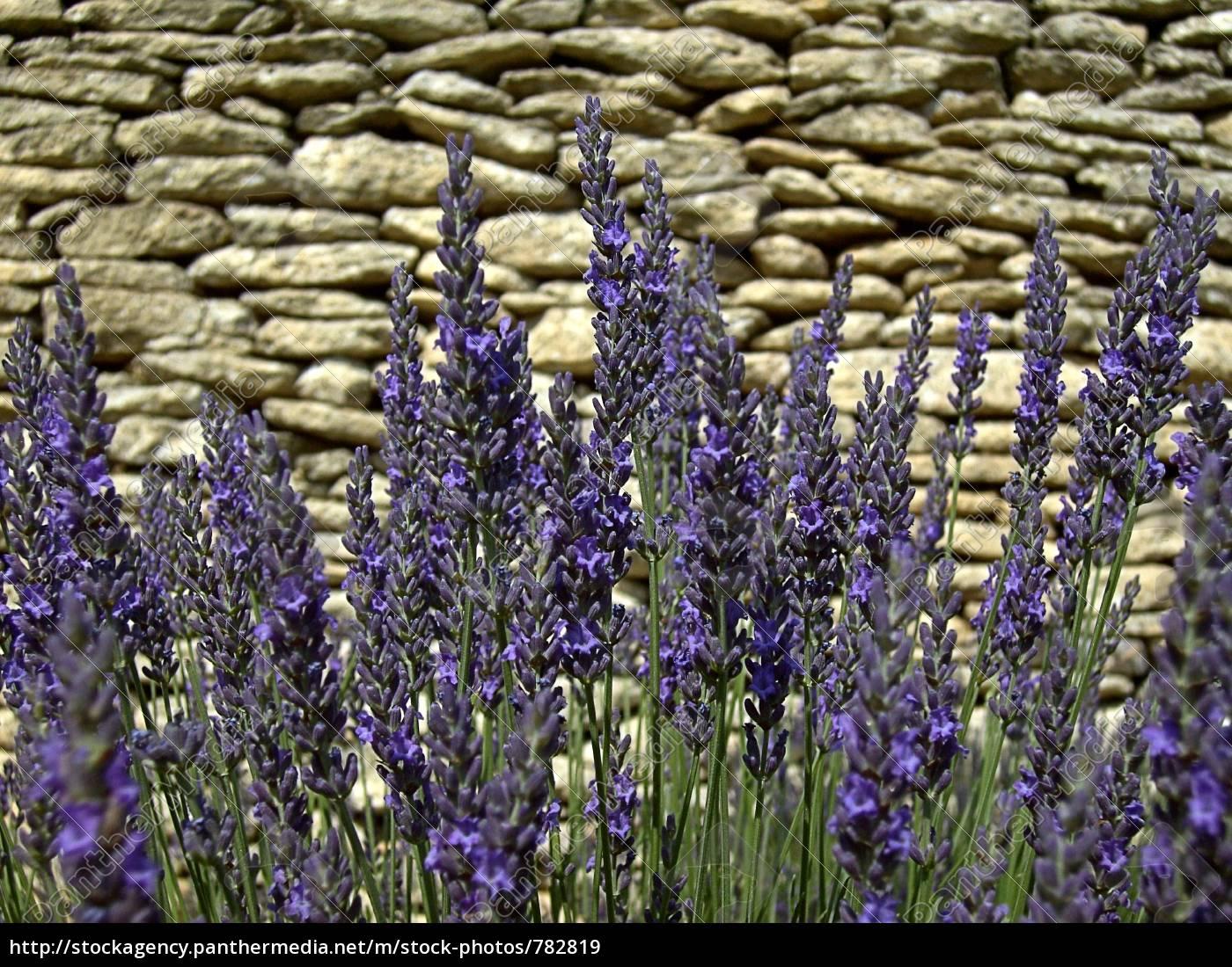 lavender, 30 - 782819