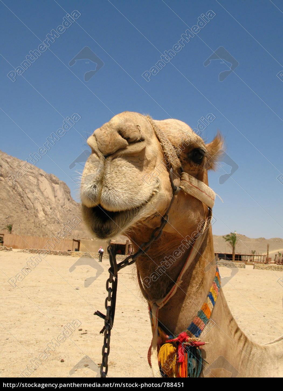 camel - 788451