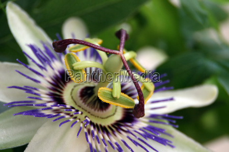 passiflora - 790045